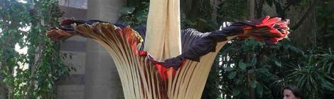 死体花から骨肉組織を発見 オーストラリアの研究所