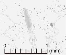 写真=顕微鏡で撮影された世界最小のダイオウイカ、馬教授提供